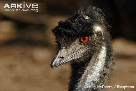 Emu videos, photos and facts - Dromaius novaehollandiae - ARKive | Australian koala conservation | Scoop.it