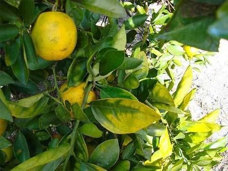 Asian Citrus Psyllid makes push into San Luis Obispo County | Plants, Vectors, and Endosymbionts | Scoop.it