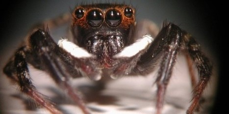 La vision de la profondeur chez l'araignée sauteuse | EntomoNews | Scoop.it