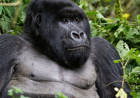 Primatologist warns of possible great ape extinction   Biodiversity IS Life  – #Conservation #Ecosystems #Wildlife #Rivers #Forests #Environment   Scoop.it