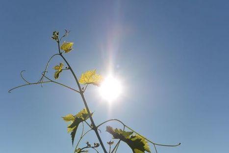 Comment favoriser la résilience de mes vignes face aux aléas climatiques ? | Les colocs du jardin | Scoop.it