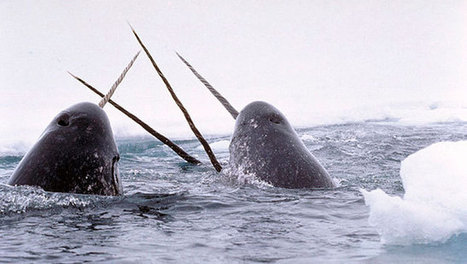 Why do narwhals have that long tusk? | Impact on Wildlife | Scoop.it
