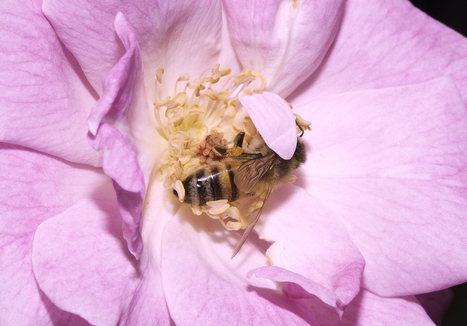 Honey Bee Colony Losses - Conservation Articles & Blogs - CJ | Wildlife and Conservation | Scoop.it