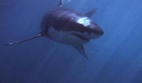Toujours moins de requins dans le Pacifique, et plus dans les bols de soupe | shark | Scoop.it