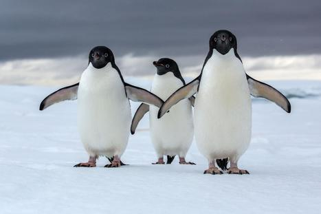 Antarctica Could Lose Most of Its Penguins to Climate Change | Biodiversity protection | Scoop.it