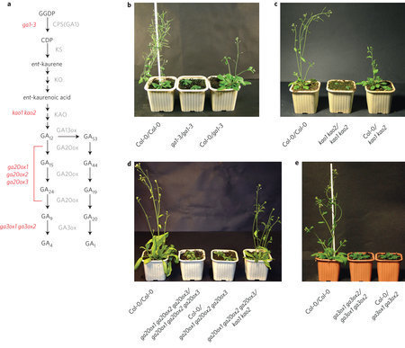 The gibberellin precursor GA12 acts as a long-distance growth signal in Arabidopsis | Emerging Research in Plant Cell Biology | Scoop.it