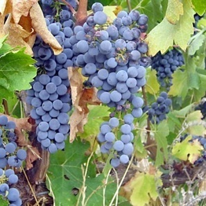 "Peterson: 2011 ""a very bad year for Napa Cabernet"" 