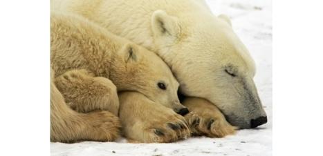 Déclin de près d'un tiers du nombre d'ours polaires dès 2050 | Biodiversité & Relations Homme - Nature - Environnement : Un Scoop.it du Muséum de Toulouse | Scoop.it