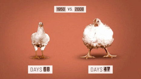 Genetically Modified Chickens | El Camino del Gen | Scoop.it