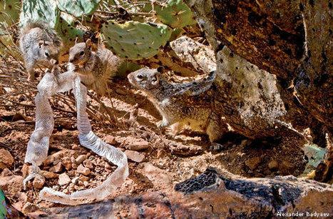 Rattlesnakes on the Hunt - National Wildlife Federation | Wildlife News | Scoop.it
