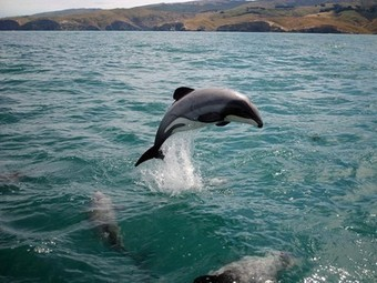 The last 55 Maui dolphins face extinction unless something is done RIGHT NOW | Nature Animals humankind | Scoop.it