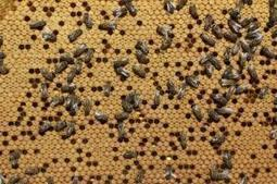 La lutte contre le varroa s'organise | Filière apicole française | Scoop.it
