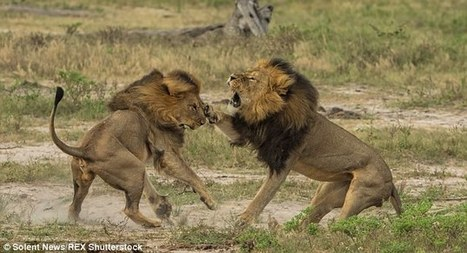 Has a poacher killed Cecil's brother | Trophy Hunting: It's Impact on Wildlife and People | Scoop.it