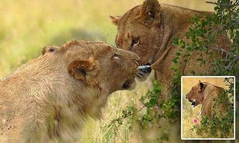 Extraordinary moment cub pulls a tranquiliser dart from lioness | Convincingly Contrarian Crumbs | Scoop.it