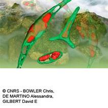 Biocarburants 3G : Les secrets d une micro-algue à cornes   Algues biomatériaux   Scoop.it
