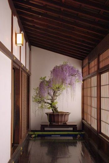 Japanese wisteria bonsai - Garden Chic | Japanese Gardens | Scoop.it