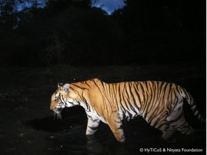 International Citizen Science for Indian Tiger Conservation | CitizenSci | CALS in the News | Scoop.it