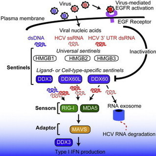 DDX60 Is Involved in RIG-I-Dependent and Independent Antiviral Responses, and Its Function Is Attenuated by Virus-Induced EGFR Activation: Cell Reports | Hepatitis C New Drugs Review | Scoop.it