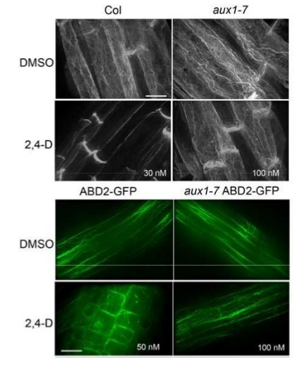 SMALL ACIDIC PROTEIN 1 (SMAP1) and SCFTIR1 ubiquitin proteasome pathway act in concert to induce 2,4‐dichlorophenoxyacetic acid‐mediated alteration of actin in Arabidopsis roots | Plant roots and rhizosphere | Scoop.it