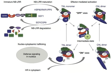 Current Opin Plant Biol: How to build a pathogen detector: structural basis of NB-LRR function (2012) | immunity | Scoop.it
