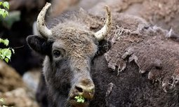 Bison to become first national mammal, joining bald eagle as American symbol | GarryRogers Biosphere News | Scoop.it