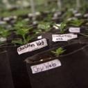La red de Charlotte y el cannabis medicinal - Neoteo | thc barcelona | Scoop.it