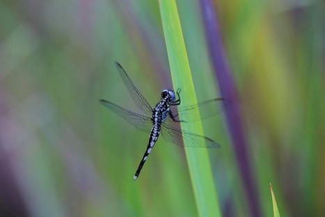 Non pas deux, mais six espèces de libellules dans le genre Acisoma, dont une nouvelle espèce dédiée à David Attenborough | EntomoNews | Scoop.it