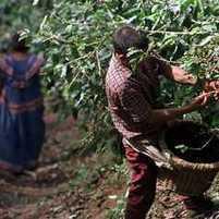 Exportaciones de café salvadoreño caen 22.2% - Prensa Libre | Café | Scoop.it