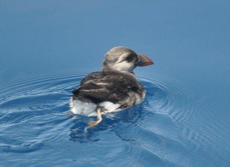 First Ever Live Puffin Seen In Bermuda Waters | Primary teaching | Scoop.it