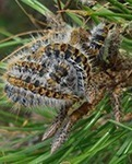 Management of Pine Processionary Moth and Oak Processionary Moth in France | Pest risk analysis | Scoop.it