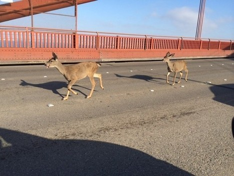 Deer snarl traffic on Golden Gate Bridge   FREE HUgZ - sharing of inspiration and miracles   Scoop.it