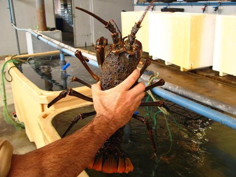 SOUTH AFRICA: Rock lobster recovery plan gets legal clout | Aquaculture and Fisheries - World Briefing | Scoop.it