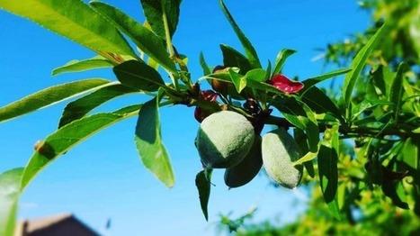 Bon cru pour la récolte des amandes en Roussillon - France 3 Languedoc-Roussillon | Made In Sud de France | Scoop.it