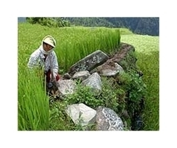 First GMO rice to be launched in Philippines in 2016: researchers | Sustain Our Earth | Scoop.it
