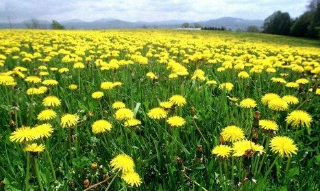 Organic Dandelion Herb Recipes: Dandelion Root Tea & Supplement Health Benefits | FASHION & LIFESTYLE! | Scoop.it