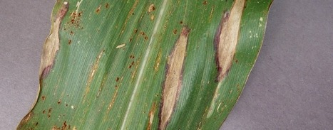 Smartphones enlisted to battle crop disease - Farm and Dairy | Agriculture news & innovations | Scoop.it