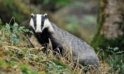 Britain's badger cull is back – despite all the evidence against it | Patrick Barkham | GarryRogers NatCon News | Scoop.it
