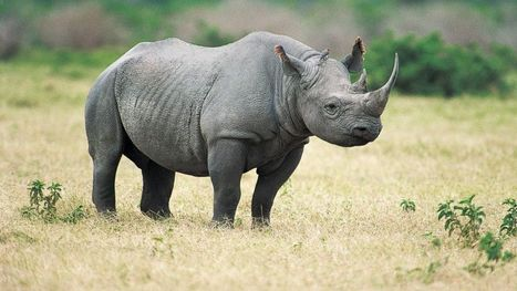 Texas Hunt Club Auctions Permit to Hunt Endangered Rhino | Sustain Our Earth | Scoop.it