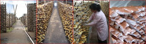 Fujian: Chinese technology turns grass into mushrooms | Music | Scoop.it