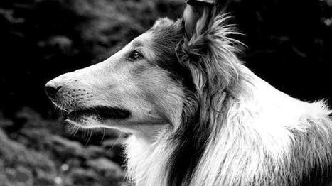 La verdadera Lassie hizo que un soldado de la Primera Guerra Mundial despertara de la morgue | Historia del Mundo Contemporáneo | Scoop.it
