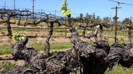 Le réchauffement climatique a-t-il un impact sur le vin? | Le vin quotidien | Scoop.it