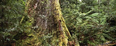 Tasmania's giant ash trees may be world's tallest | Australian Plants on the Web | Scoop.it