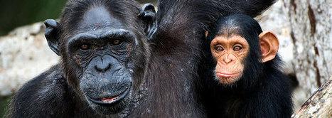 Chimp DNA Mutation Study—Selective Yet Surprising | Biotechnology | Scoop.it