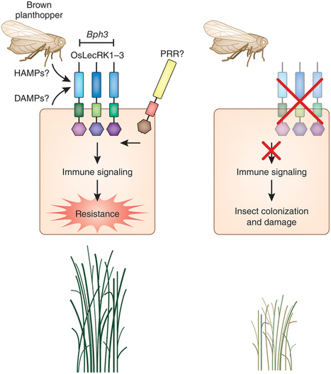 Nature Biotechnology: Engineering insect-free cereals (2015) | plant cell genetics | Scoop.it