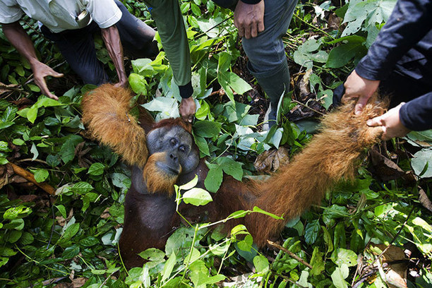 SUMATRAN RAINFORESTS RAVAGED WITH ALL LIFE WITH...