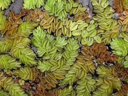 Aerial surveillance to check for spread of Salvinia | The #Agvocate | Scoop.it