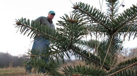 Root rot mold threatening traditional Christmas fir trees | Natural Soil Nutrients | Scoop.it