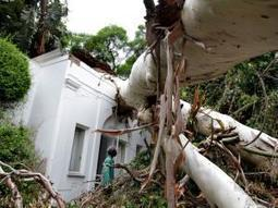 City's oldest tree comes crashing down - Independent Online   Australian Plants on the Web   Scoop.it