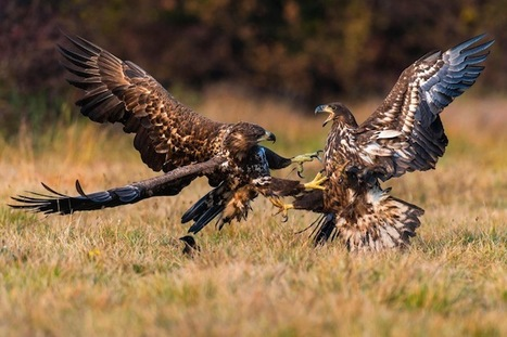 Can There Be Too Many Eagles? | Biodiversity protection | Scoop.it