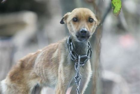 Veneto: da gennaio in vigore la legge che proibisce di detenere i cani a catena | All4Animals | Dog Style | Scoop.it
